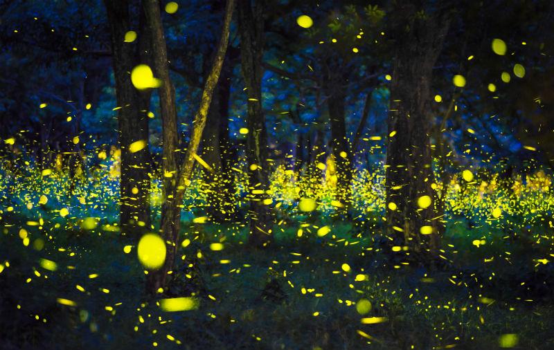 firefly forest.jpg