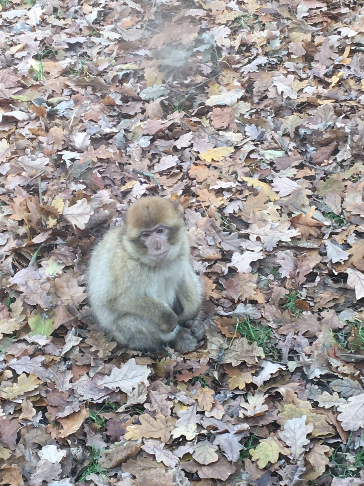 Monkey amongst fallen leaves