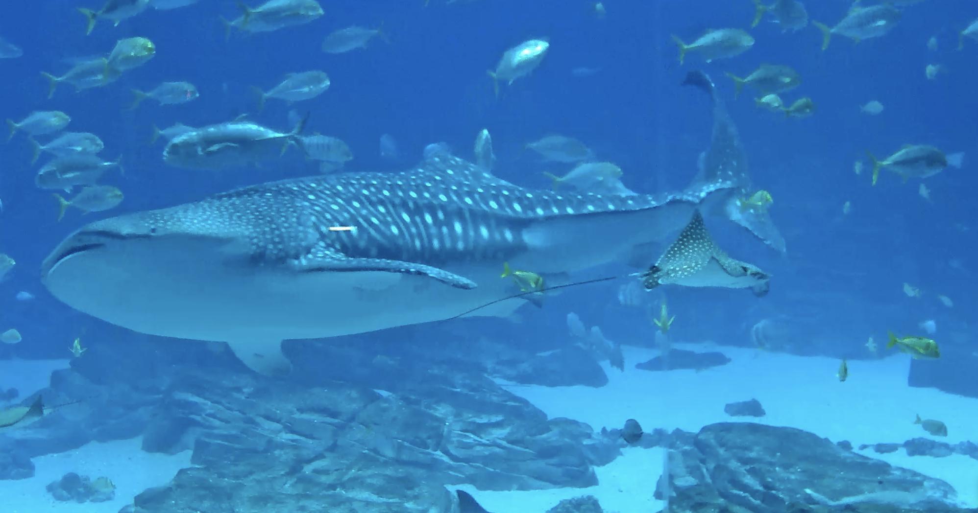 Georgia Aquarium Ocean Voyager Live Streaming.png