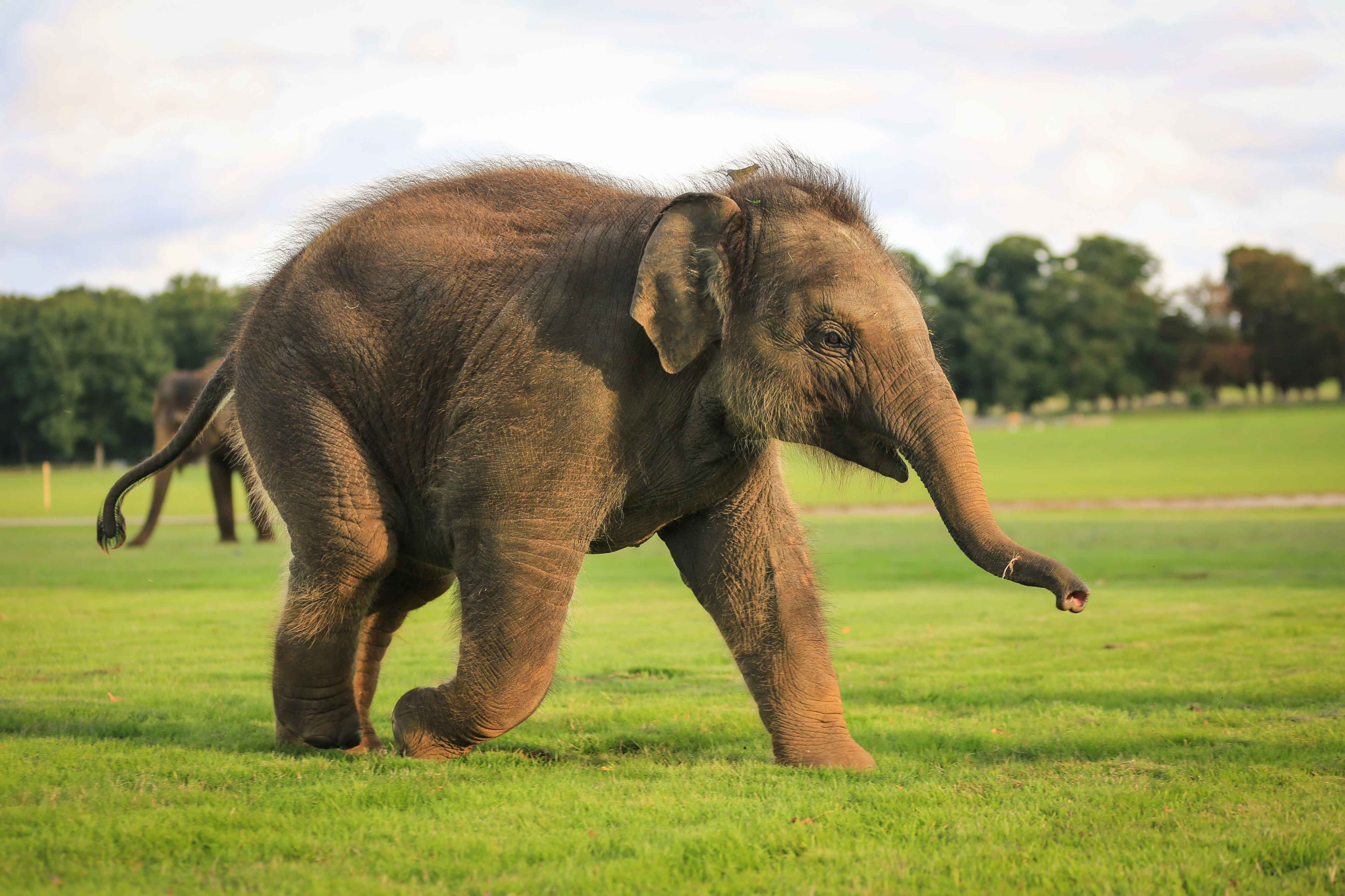 Tarli-the-Elephant-Calf-at-Woburn-Safari-Park1.jpg