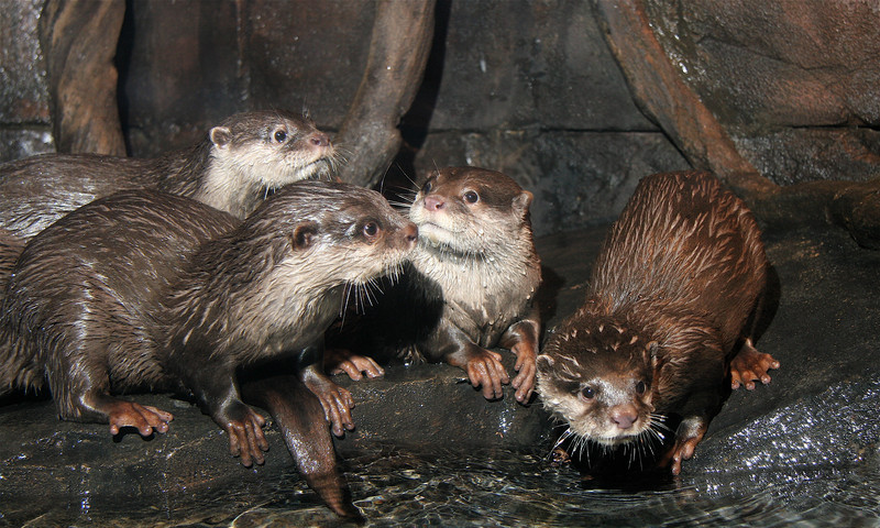 Say hello to these Asian small clawed otters at Georgia Aquarium. (Georgia Aquarium)
